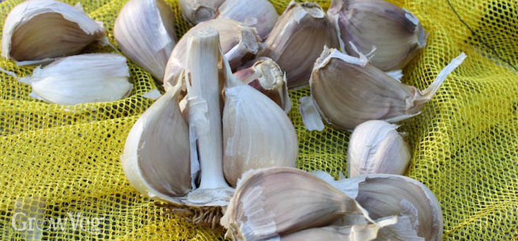 Garlic 'Music'