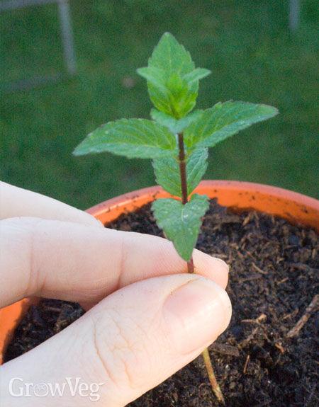 Spearmint in pot