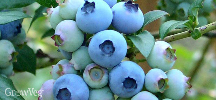 https://res.cloudinary.com/growinginteractive/image/upload/q_80/v1445445828/growblog/blueberries-2x.jpg
