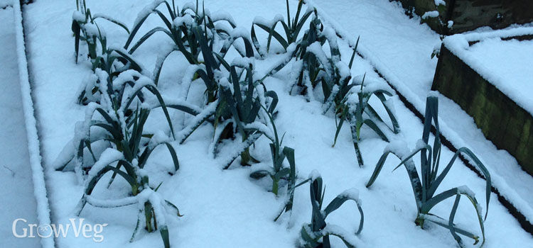 Leeks in the snow