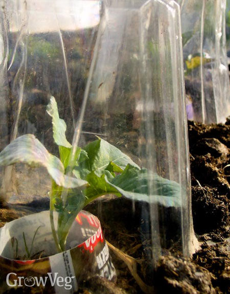 Broccoli in cloches made from plastic bottles