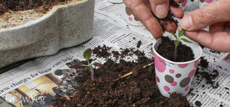 Pricking out seedlings into paper cups