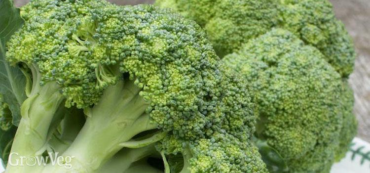 how to grow broccoli heads