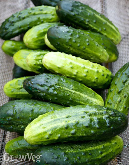 Cucumbers ready for pickling