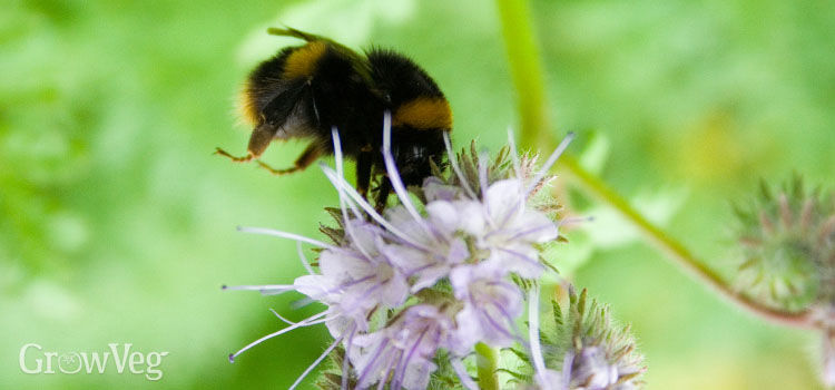 Bee and phacelia flower