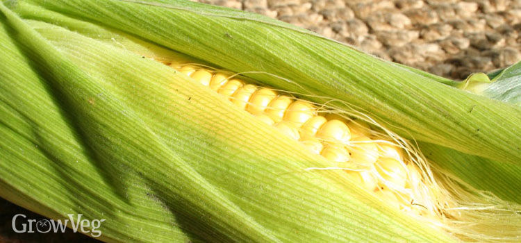 https://res.cloudinary.com/growinginteractive/image/upload/q_80/v1445764389/growblog/sweetcorn-cob-2x.jpg