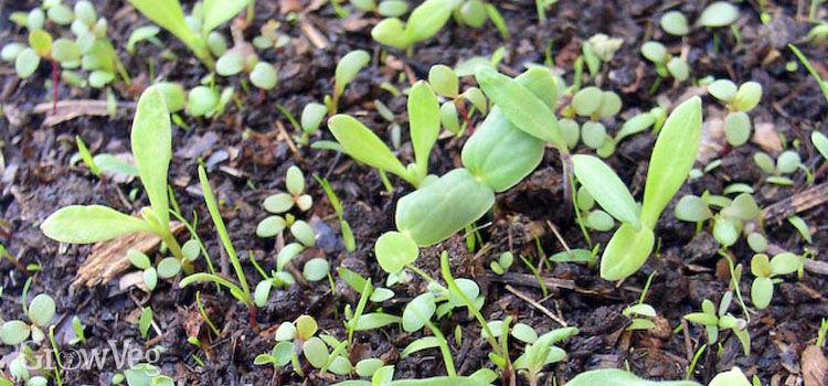 Calendula weed seeds