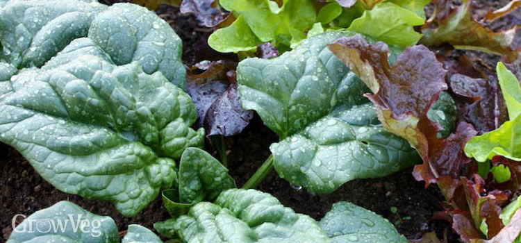 Spinach intercropped with lettuce