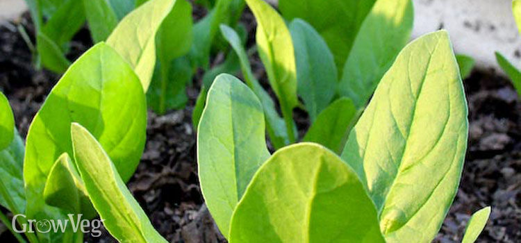 Spinach seedlings, protected from the wind