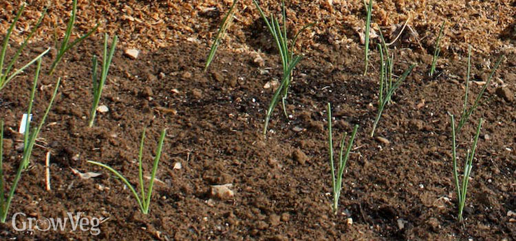 Onion seedlings in a stale seed bed