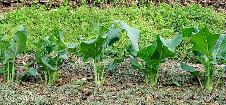 Squash seedling mulched with grass