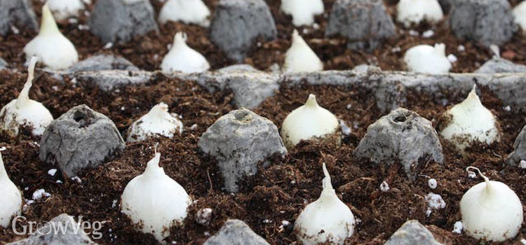 Onion sets planted in egg cartons