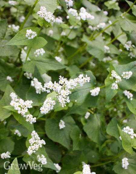 The Benefits Of Growing Buckwheat