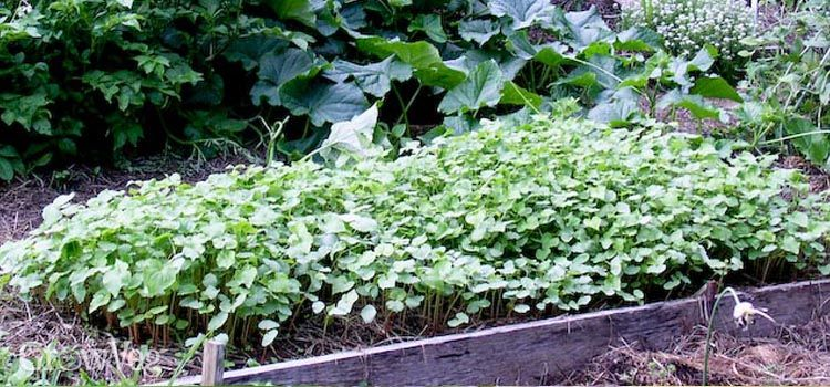 A bed of buckwheat grown to control weeds