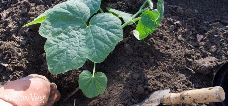 Planting out squash