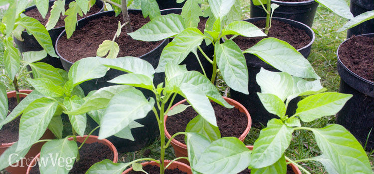 Pepper plants ready for transplanting