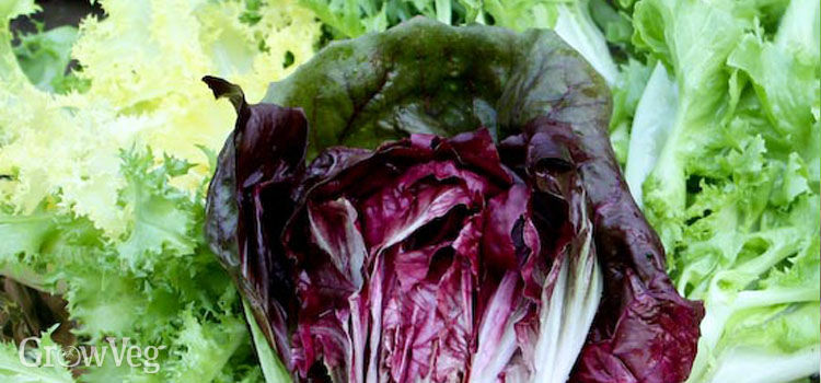 Three types of chicory