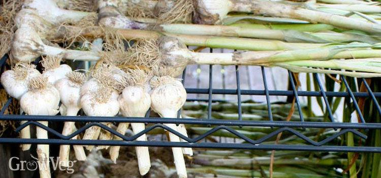 https://res.cloudinary.com/growinginteractive/image/upload/q_80/v1445789291/growblog/garlic-curing-2x.jpg