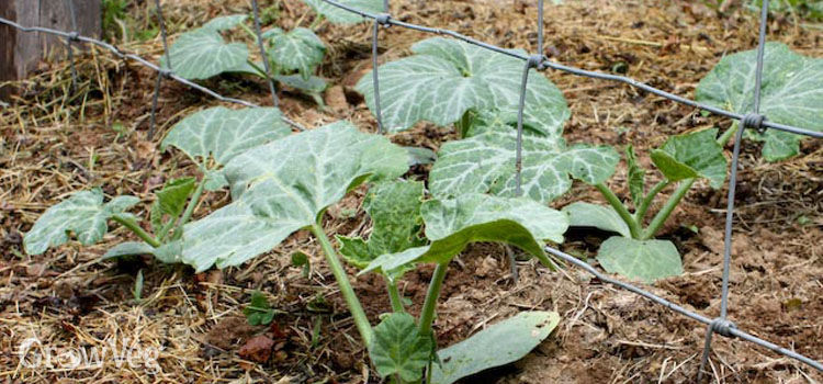 Squash - an ideal summer crop