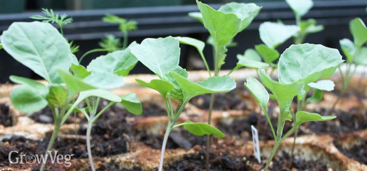 Brassica seedlings ready for transplanting