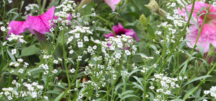 Growing alyssum
