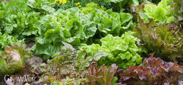Lettuce is a simple crop to grow in spring