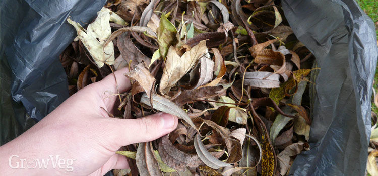 Leaves in a bin bag ready for making leafmould