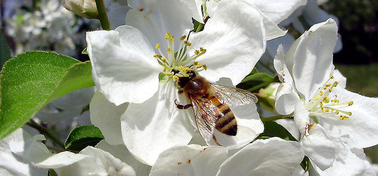 Bee pollinating apple tree blossom