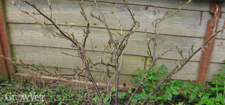 Gooseberry bush before winter pruning