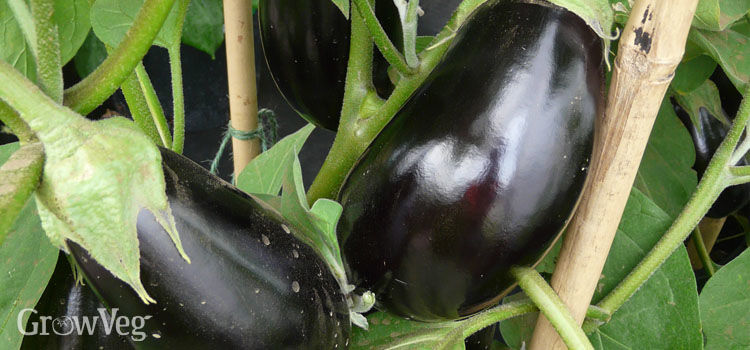 https://res.cloudinary.com/growinginteractive/image/upload/q_80/v1445959210/growblog/supporting-aubergine-branches-2x.jpg