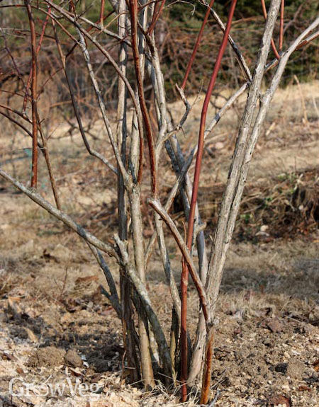 Blueberry bush after pruning