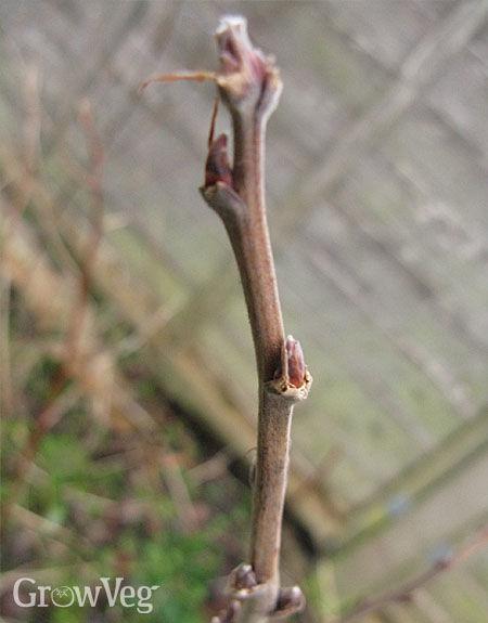 Pruned stem