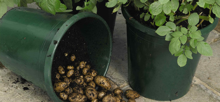 Potatoes growing in buckets on a patio