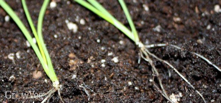 Onion seedlings to transplant