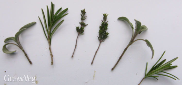 A selection of herb cuttings