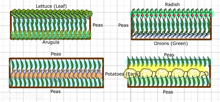 Interplanting plan for peas