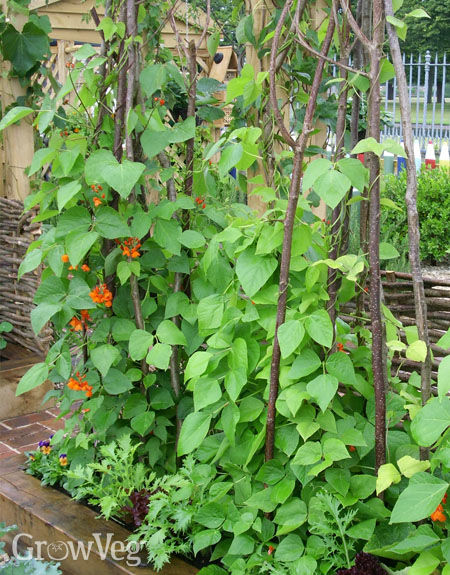 Runner beans growing vertically on tripods