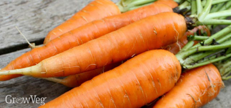 https://res.cloudinary.com/growinginteractive/image/upload/q_80/v1446025523/growblog/bunch-of-carrots-2x.jpg