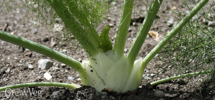 Florence fennel bulb growing in the garden
