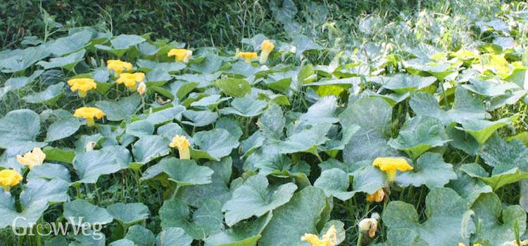 Winter squashes make fantastic summer crops