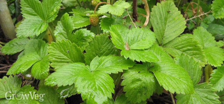 Alpine strawberries make excellent ground cover