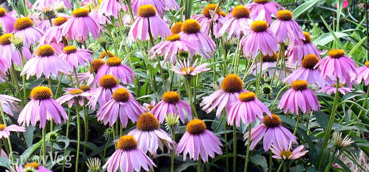https://res.cloudinary.com/growinginteractive/image/upload/q_80/v1446042685/growblog/echinacea2-2x.jpg