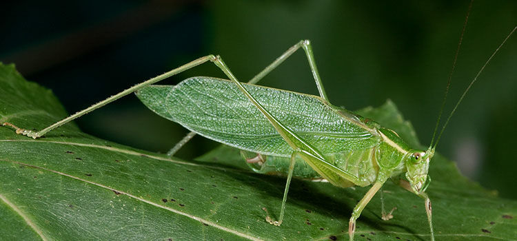 https://res.cloudinary.com/growinginteractive/image/upload/q_80/v1446047579/growblog/bush-katydid-2x.jpg