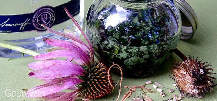 Preparing echinacea tincture