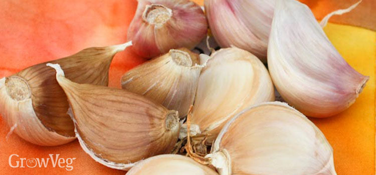 Garlic needs planty of organic matter to grow well