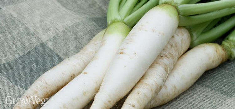 Large daikon radishes