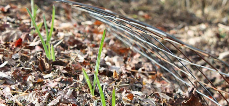 Garlic mulched with leaves