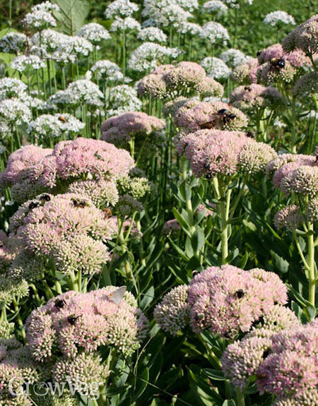 Sedum and garlic chives are great for bees
