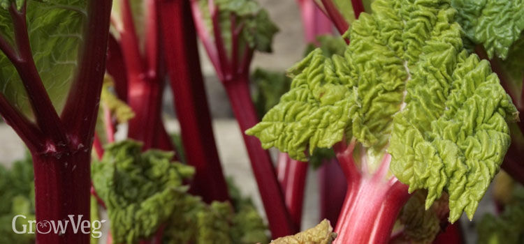 Rhubarb 'Stockbridge Arrow'