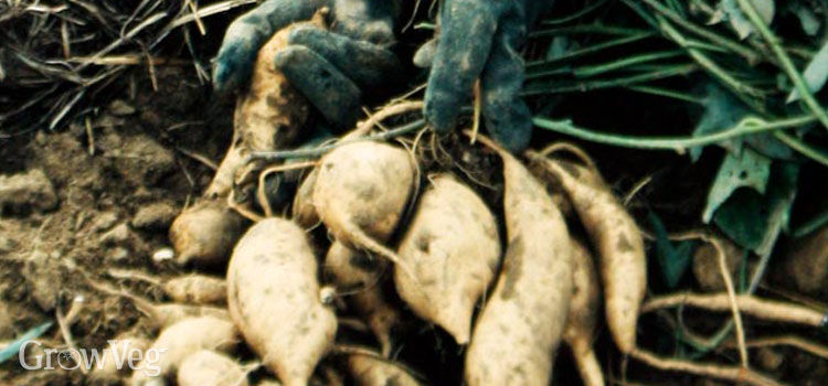 https://res.cloudinary.com/growinginteractive/image/upload/q_80/v1446117774/growblog/white-sweet-potatoes-2x.jpg